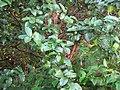 Starr-091112-9526-Psidium guajava-habit-West Maui-Maui (24359006024).jpg