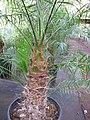 Starr-110209-0648-Phoenix roebelenii-habit-Resort Management Group Nursery Kihei-Maui (24447367393).jpg