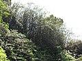 Starr-110330-4313-Pachira aquatica-habit-Garden of Eden Keanae-Maui (25055217006).jpg