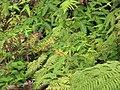 Starr-110827-8473-Clidemia hirta-habitat-Waihee Ridge Trail-Maui (25010620621).jpg