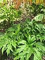 Starr-120504-5516-Tacca leontopetaloides-leaves and flowers-Maui Nui Botanical Garden-Maui (25115842896).jpg