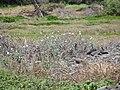 Starr-120513-9488-Argemone glauca-flowering habit-Waihee Coastal Preserve-Maui (25116420966).jpg