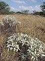 Starr-130422-4260-Encelia farinosa-habit-Kahului-Maui (24579763204).jpg