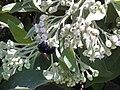 Starr 010828-0003 Pluchea carolinensis.jpg