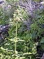 Starr 020112-0023 Leonotis nepetifolia.jpg