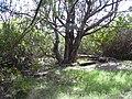 Starr 040121-0022 Casuarina equisetifolia.jpg