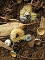 Starr 051123-5466 Eucalyptus globulus.jpg