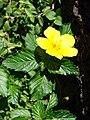Starr 070111-3137 Turnera ulmifolia.jpg