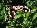 Starr 070321-6132 Syzygium malaccense.jpg