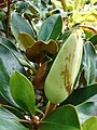 Starr 070906-8457 Magnolia grandiflora.jpg