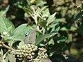 Starr 080209-2725 Pluchea carolinensis.jpg