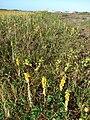 Starr 080306-3359 Crotalaria incana.jpg