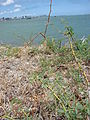 Starr 080530-4631 Prosopis juliflora.jpg