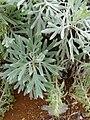 Starr 081230-0625 Artemisia australis.jpg