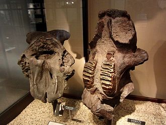 Stegodon - Fossils of S. aurorae (left) and S. orientalis (right) at the National Museum of Nature and Science, Tokyo, Japan