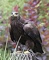 Steppe Eagle 6 (3862271539).jpg