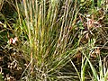 Stipa richardsonii (3876376079).jpg