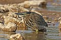 Striated heron (Butorides striata chloriceps).jpg