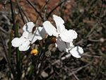 Stylidium affine flower2.jpg