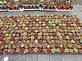 Succulents for sale, Liverpool.JPG
