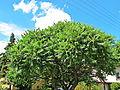 Sumak octowiec, 22 czerwiec. Błękit nieba i biel obłoków, dobrze się kojarzy z zielenią drzewka..jpg