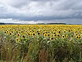 Sunflower Sundance - geograph.org.uk - 952765.jpg