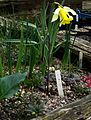 Sunny raised bed with Fritillaria nigra - Flickr - peganum.jpg