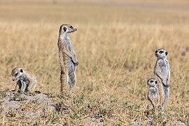 Suricatos (Suricata suricatta), parque nacional Makgadikgadi Pans, Botsuana, 2018-07-30, DD 33.jpg
