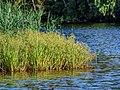 Svir River 31 (35332932170).jpg