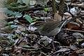 Swainson's Warbler Hooks Wood High Island TX 2018-04-10 08-08-28 (40693440035).jpg