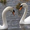 Swans on the flooded River Test - geograph.org.uk - 344604.jpg