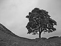 Sycamore Gap tree bw.jpg
