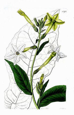 Sydenham Edwards - Nicotiana persica Lindl.