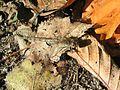 Sympetrum striolatum.jpg