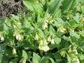 Symphytum tuberosum2.jpg