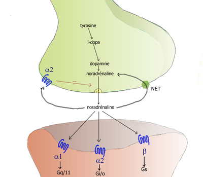 Cartoon diagram of a noradrenergic synapse, showing the synthetic and metabolic mechanisms as well as the things that can happen after release.