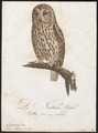 Syrnium aluco - 1800-1812 - Print - Iconographia Zoologica - Special Collections University of Amsterdam - UBA01 IZ18400145.tif