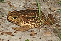 TOAD, GIANT (Bufo marinus) (4-18-12) national butterfly center, mission, tx - (3) (6948889872).jpg