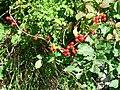 Tamus communis berries.JPG
