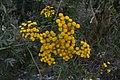 Tanacetum vulgare78.jpg