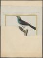 Tangara tatao - 1700-1880 - Print - Iconographia Zoologica - Special Collections University of Amsterdam - UBA01 IZ15900289.tif