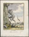 Tarsius spectrum - 1782 - Print - Iconographia Zoologica - Special Collections University of Amsterdam - UBA01 IZ19700147.tif