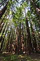 Tarwater trail portola redwoods sp.jpg