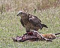 Tawny Eagle (Aquila rapax) (21126047616).jpg
