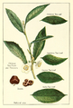 Tea-plant-chinese-india-japanes-ceylon-flowers-seeds.png