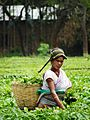 Tea Garden worker at Kalaigaon.jpg