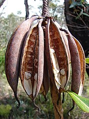 Several open banana-shaped seedpods hang down from an old flower spike. Within them a few beige seeds are still attached.