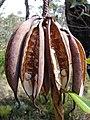 Telopea speciosissima seedpods.jpg