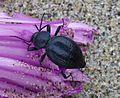 Tenenbrionidae - Flickr - gailhampshire.jpg