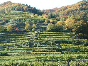 Wachau - Terraced vineyards in the Wachau region.